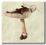 Wild mushroom print on canvas from watercolour painting by Peter Thwaites