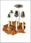Magpie inkcaps, mushroom greeting card from watercolour painting by Peter Thwaites