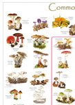 British Mycological Society Fungi Poster