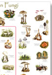 British Mycological Society Common Fungi Poster