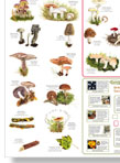 Common Fungi Poster illustrated by Peter Thwaites for the British Mycological Society