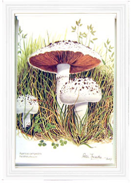 Window roller blind printed with images of wild mushrooms taken from watercolour paintings by Peter Thwaites
