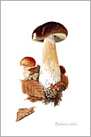 Boletus edulis, postcard printed from watercolour painting by Peter Thwaites