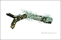 Lichens, fine art postcard from watercolour painting by Peter Thwaites