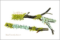 Lichens, postcard from watercolour painting by Peter Thwaites