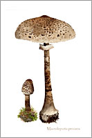 Macrolepiota procera, wild mushroom postcard from watercolour painting