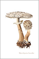 Macrolepiota rhacodes, wild mushroom postcard from watercolour painting