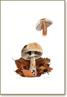 Agaricus, mushroom poster print from watercolour painting by Peter Thwaites