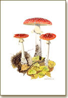 Amanita muscaria, Fly agaric, prints from watercolour paintings by Peter Thwaites