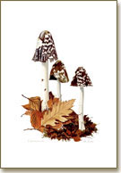 Coprinus picaceus, magpie inkcaps, prints from watercolour paintings by Peter Thwaites