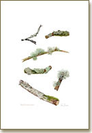 Lichens, mushroom print from watercolour painting by Peter Thwaites