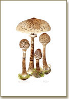 Parasol, mushroom poster print from watercolour painting by Peter Thwaites