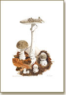 Amanita Pantherina, mushroom print from watercolour painting by Peter Thwaites