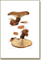 Paxillus Atrotomentosa, mushroom print from watercolour painting by Peter Thwaites