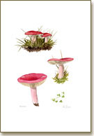 Russula, printed from a watercolour painting by Peter Thwaites