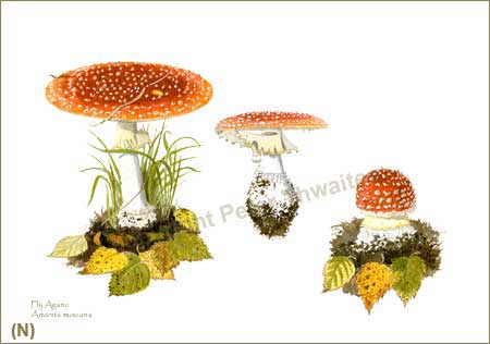 Fly Agaric, Amanita muscaria, print from watercolour painting by Peter Thwaites