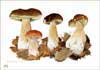 Ceps, fine art print from watercolour painting by Peter Thwaites