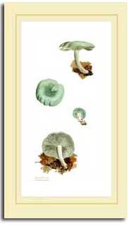 Aniseed funnel - tall mushroom print from watercolour painting by Peter Thwaites
