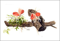 Scarlet elfcup, mushroom greeting card from watercolour painting by Peter Thwaites