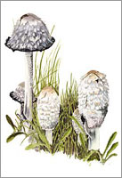 Shaggy Inkcap, mushroom greeting card from watercolour painting by Peter Thwaites