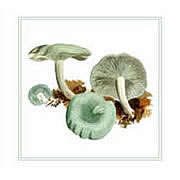 Clitocybe odora, Aniseed Funnel, mushroom greeting card printed from watercolour painting by Peter Thwaites