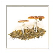 mushroom greeting card of fly agaric from watercolour painting by Peter Thwaites