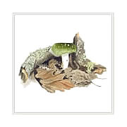 Green brittlegill, mushroom greeting card printed from watercolour painting by Peter Thwaites