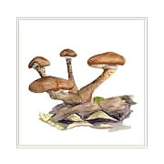 Honey fungus, mushroom greeting card printed from watercolour painting by Peter Thwaites