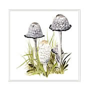 Shaggy inkcaps, Coprinus comatus, mushroom greeting card printed from watercolour painting by Peter Thwaites