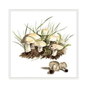 St. George's mushroom,  greeting card printed from watercolour painting by Peter Thwaites
